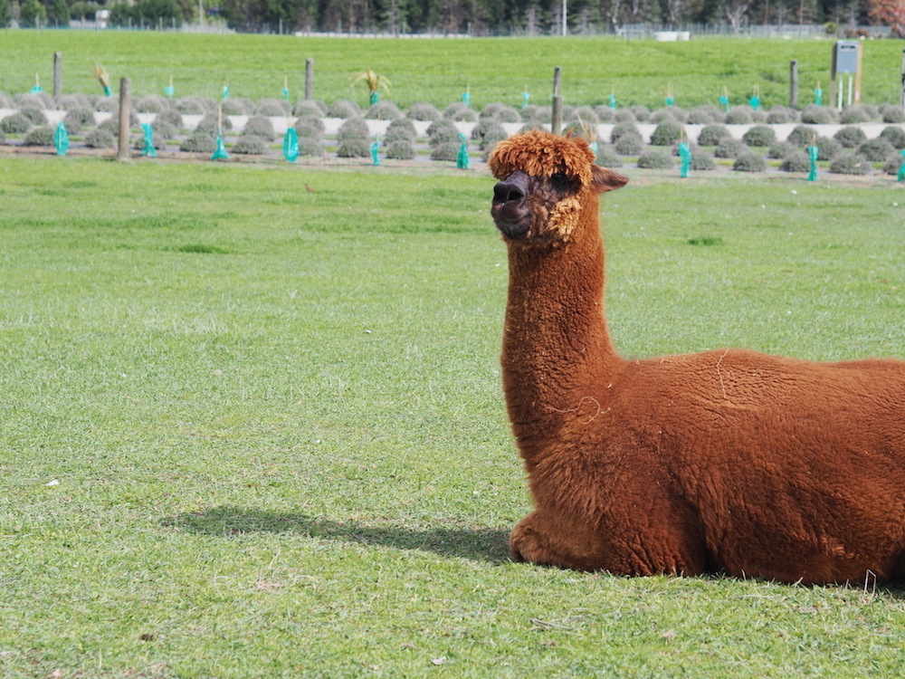 Alpaca at Lavender farm Queenstown Photography